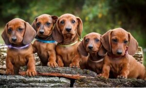Dachshund puppies standing next to each other