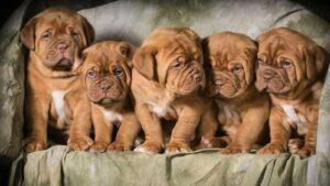 Dogue de Bordeaux puppies development