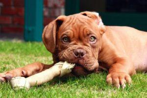 Dogue De Dordeaux diet and feeding methods.