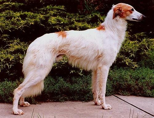 Longhaired Whippet Dog