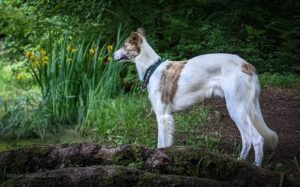 Longhaired Whippet Training Methods and Strategies