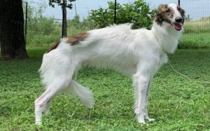Longhaired Whippet diets and feeding methods