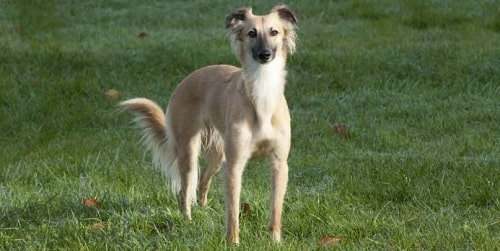 Longhaired Whippet standing on the field