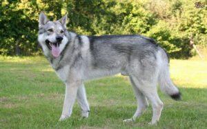 Saarloos Wolfdog temperament and personality