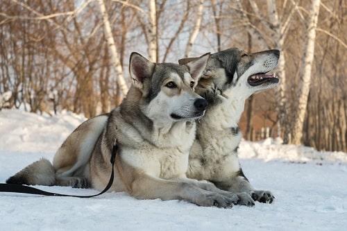 Saarloos Wolfdogs sitting on a snow