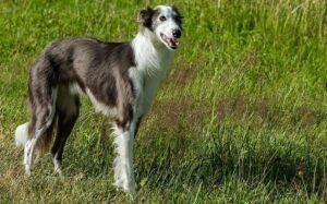 Silken Windhound dog breed information
