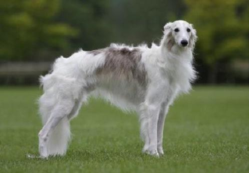 Silken Windhound standing elegantly