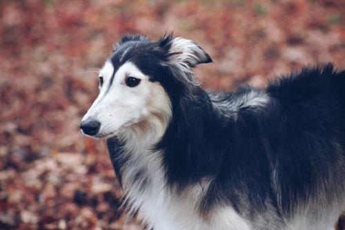 The beautiful Silken Windhound