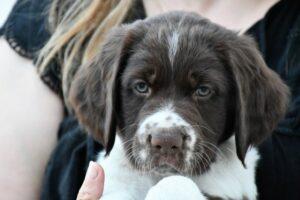 Drentsche Patrijshond puppy development.