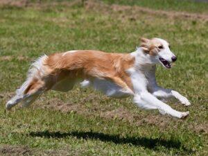 Silken Windhound training methods and strategies.