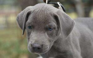 Blue Lacy puppy development stage.