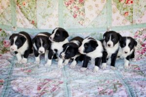 McNab Shepherd puppies development stages.