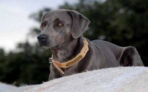 The Blue Lacy Dog breeds Information