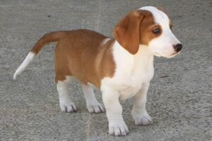 Drever puppies growth and development.