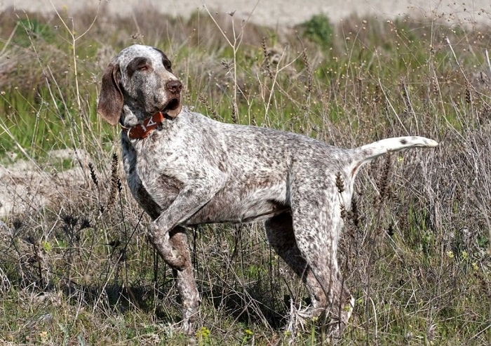 All about Spanish Pointer breed.